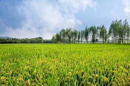 丰收的稻田图片