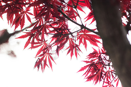 阳光下的枫树叶图片