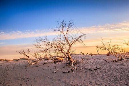 枯死的胡杨树图片