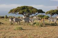 非洲肯尼亚斑马图片