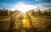 金色草原上吃草的马儿图片