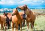 乌兰布统草原上的马群图片