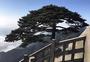 天柱山松树图片