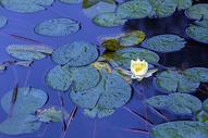 荷花池中的睡莲盛开图片