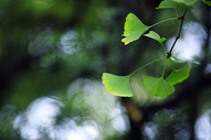 秋天银杏叶子泛黄图片