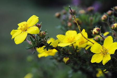 青海门源黄色小花朵图片