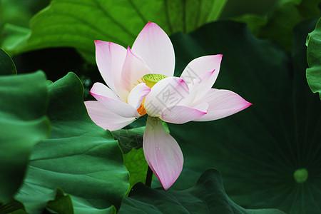 池塘里绽放的粉色荷花图片