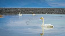 新疆赛里木湖天鹅图片