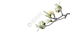 淡雅的玉兰花图片