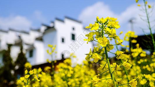 春天油菜花开图片