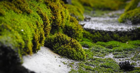 绿色青苔特写图片
