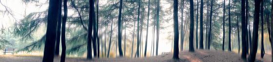 松树林全景图图片