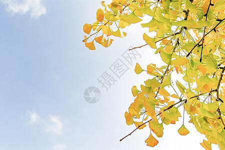 阳光下的银杏树图片