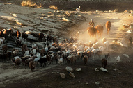 新疆阿勒泰牧业转场图片