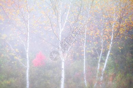 晨雾朦胧的白桦林图片