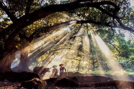 大榕树下的牧牛人图片