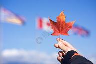 加拿大枫叶图片