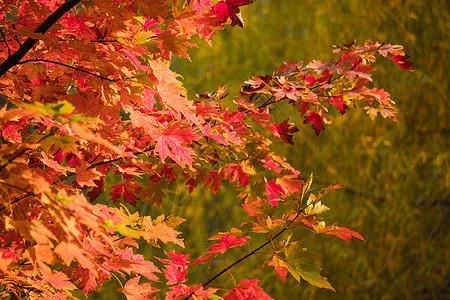 秋天公园中的红色枫叶图片