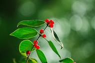 清晨公园秋天的红色果实图片