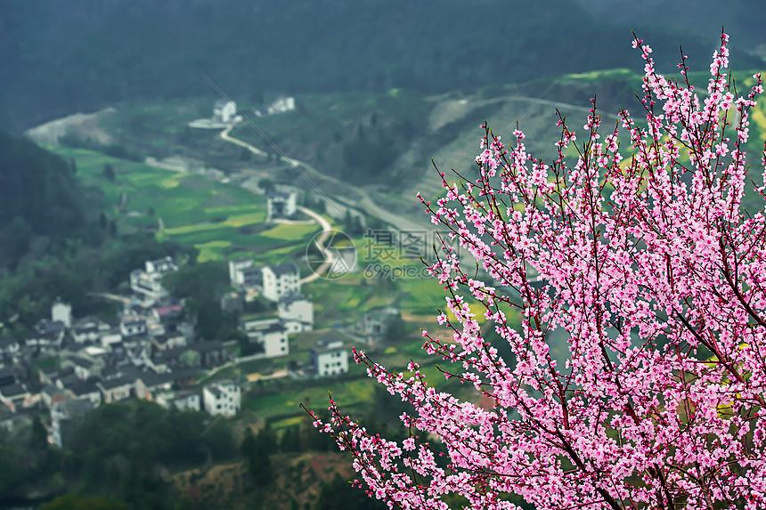 山坡上的桃花树与远方的小村庄图片