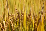 秋收稻穗稻田麦穗图片