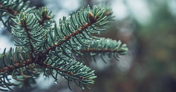 雨中松树特写图片