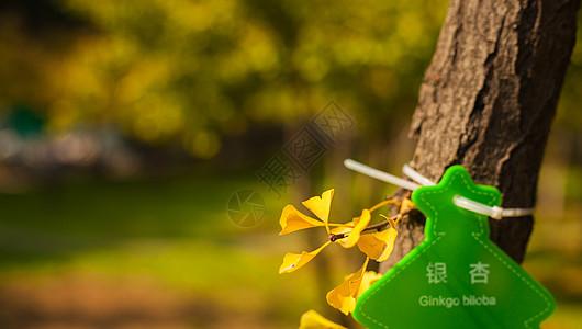 秋天的银杏叶图片