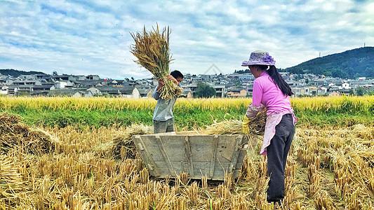 忙着收麦的农民图片