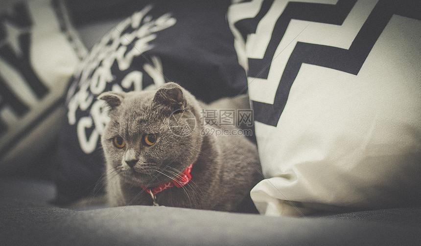 一只有趣的折耳蓝猫宝宝~图片