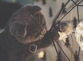 一只有趣的折耳蓝猫宝宝图片