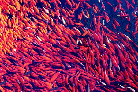 成群的红鲤鱼图片