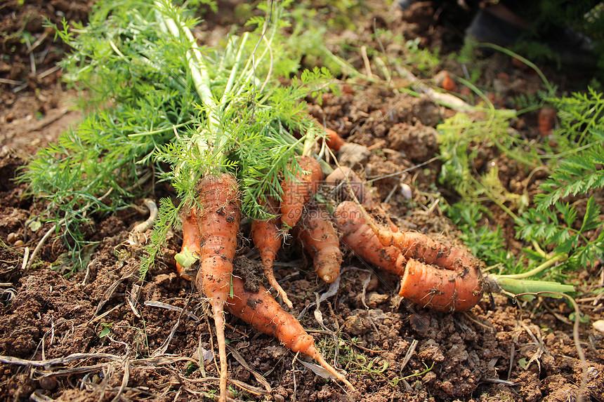 新鲜胡萝卜图片
