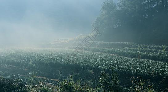 高山绿茶图片