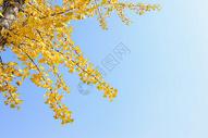 秋天蓝天下银杏叶图片