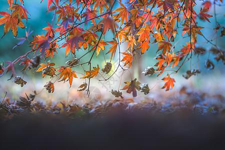 秋天的枫叶图片