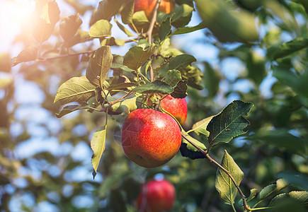 秋天阳光下的苹果树图片