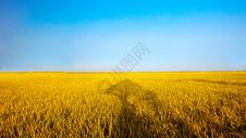 蓝天下金色的稻田图片