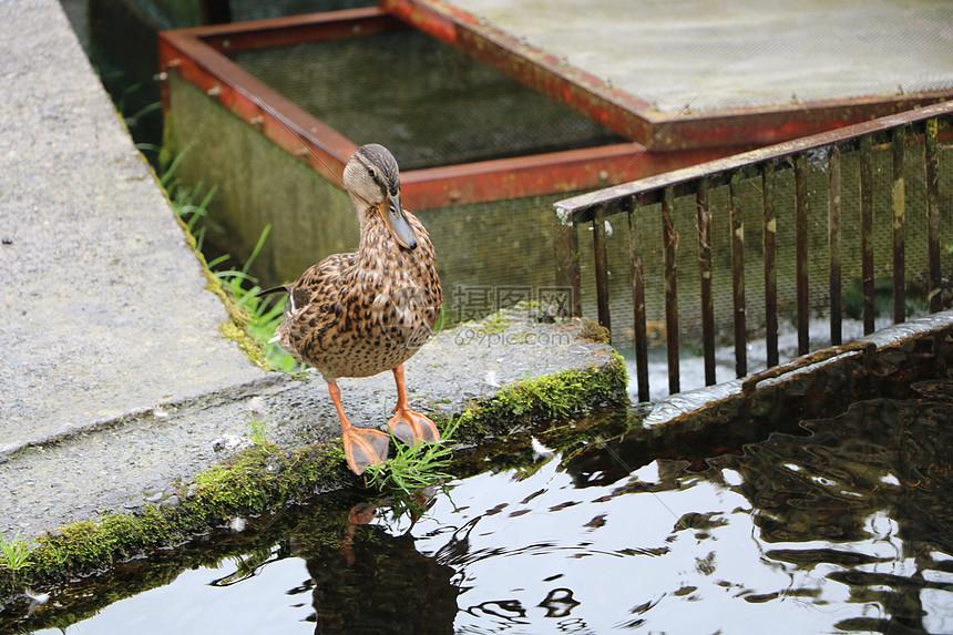 野鸭子在水边图片