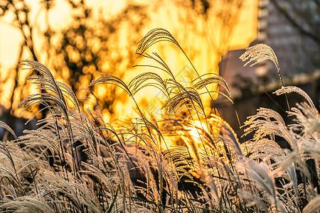 夕阳下的芦苇图片