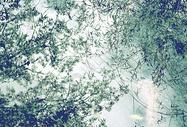 柳树背景图片