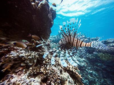海洋世界狮子鱼图片