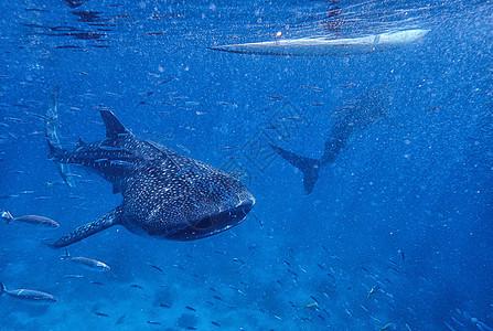 海水中的鲸鲨图片