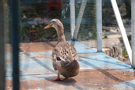 可爱鸭子摄影图片