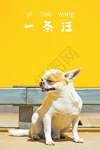 吉娃娃犬图片