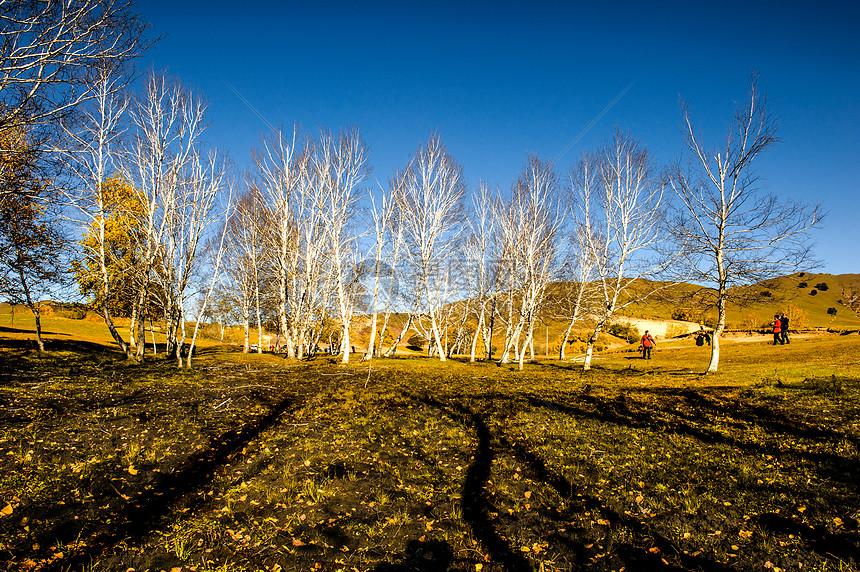 坝上白桦树图片