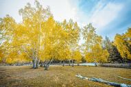 金色白桦林图片