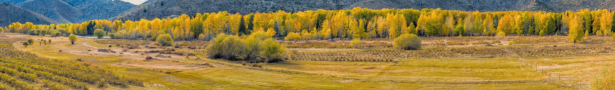 北疆金秋草原白桦林全景图片