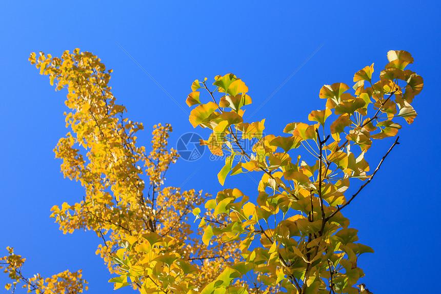 深秋的杏叶图片