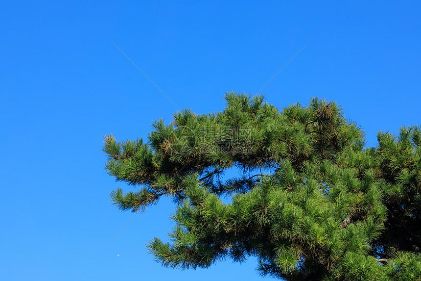 常青树叶图片