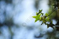 深秋的枫叶图片